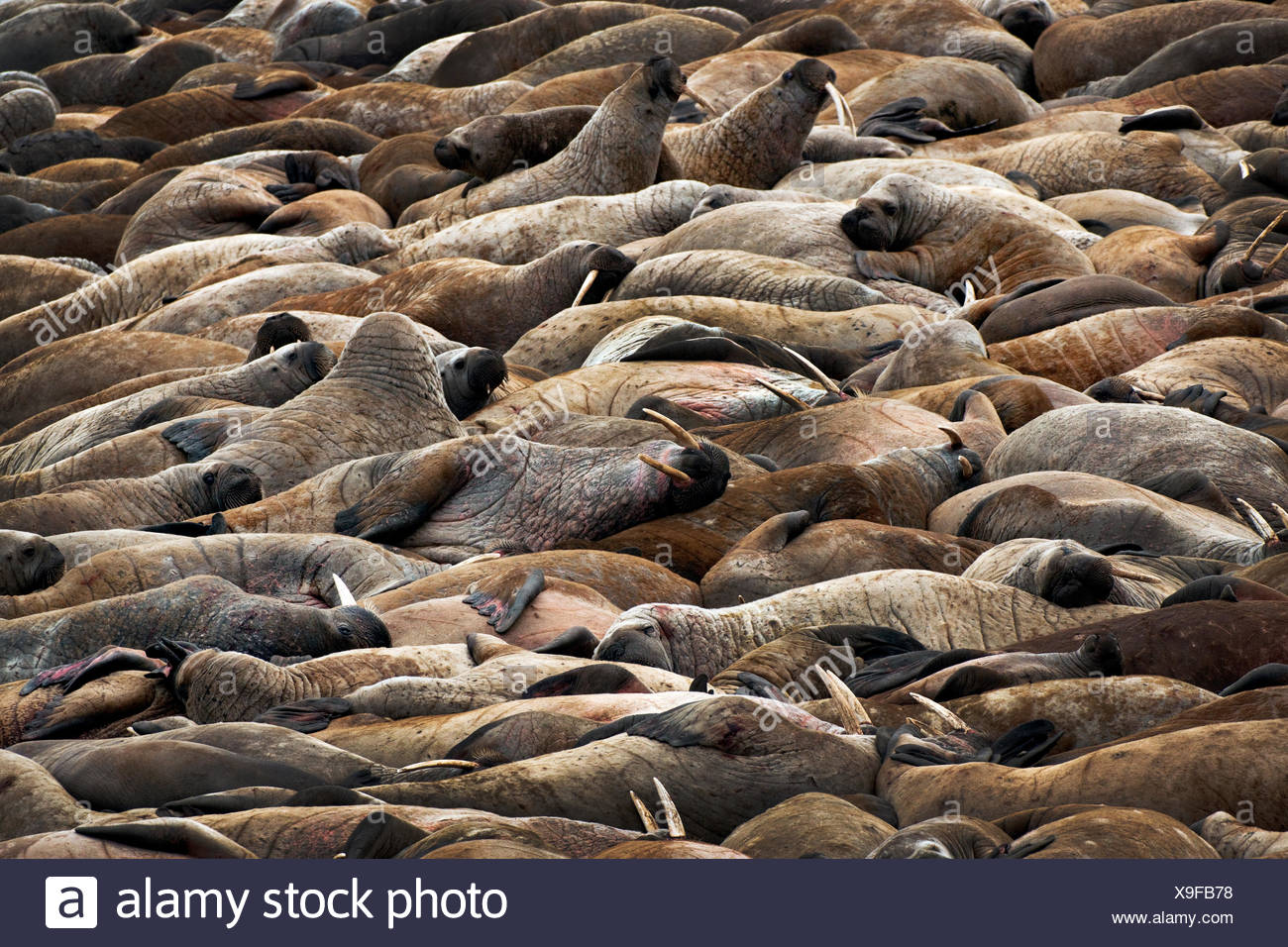 Walrus, Odobenus rosmarus, haul out, Hall Beach, Nunavut, Canada - Stock Image