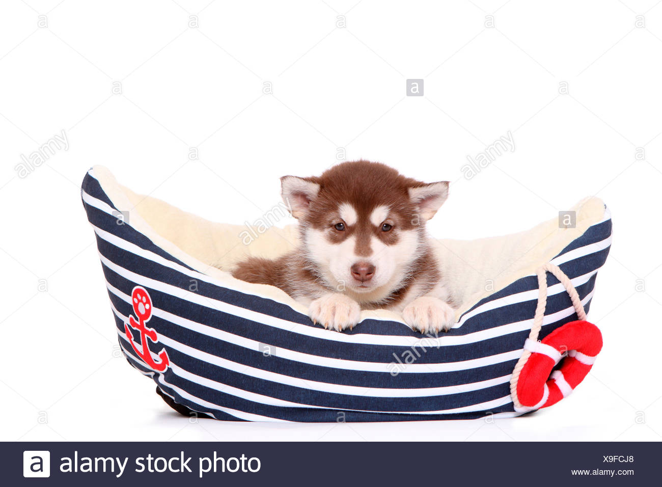 Alaskan Malamute. Puppy (6 weeks old) in a pet bed shaped like a boat. Studio picture against a white background. Germany Stock Photo
