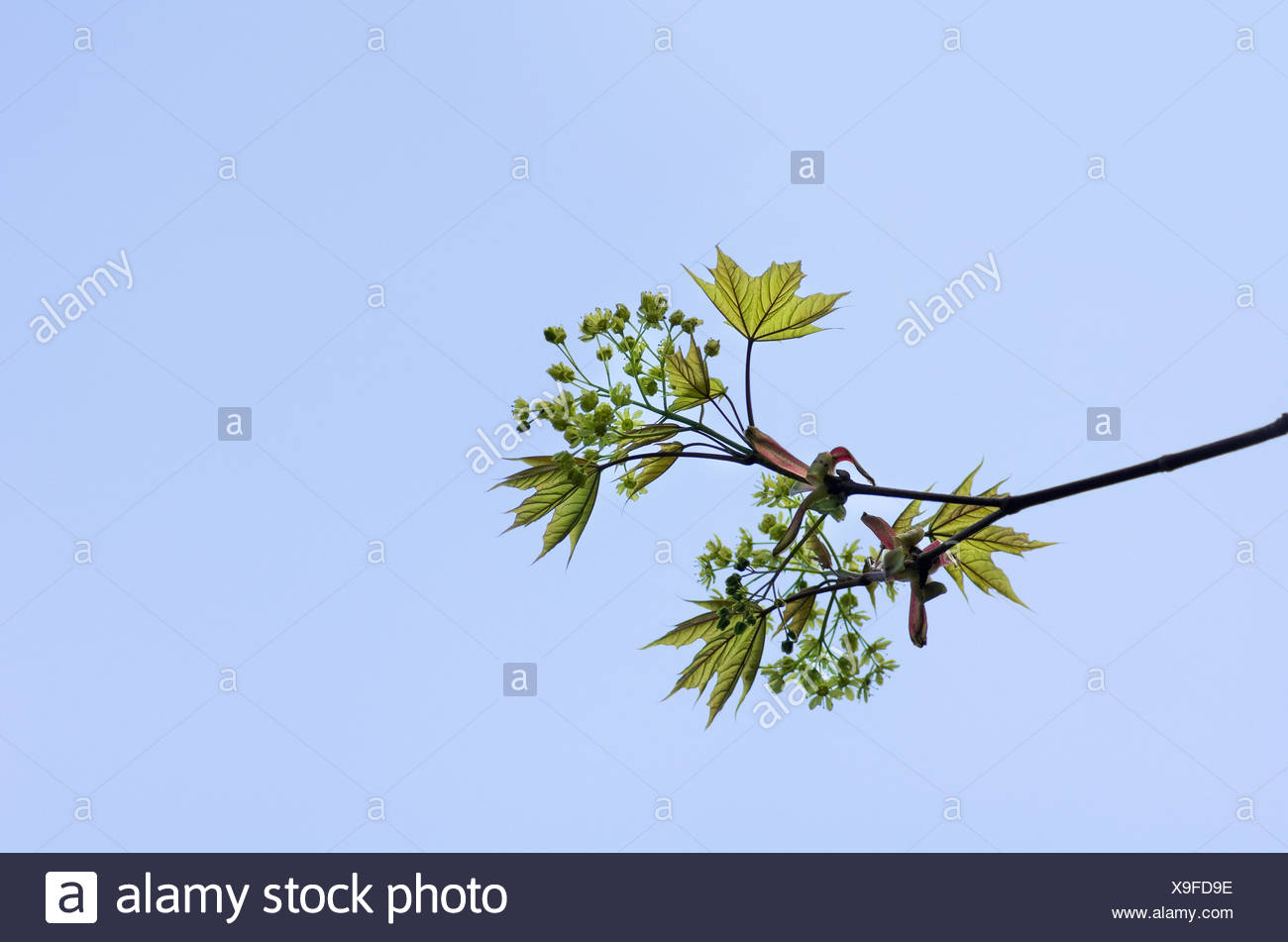 tender twig - Stock Image