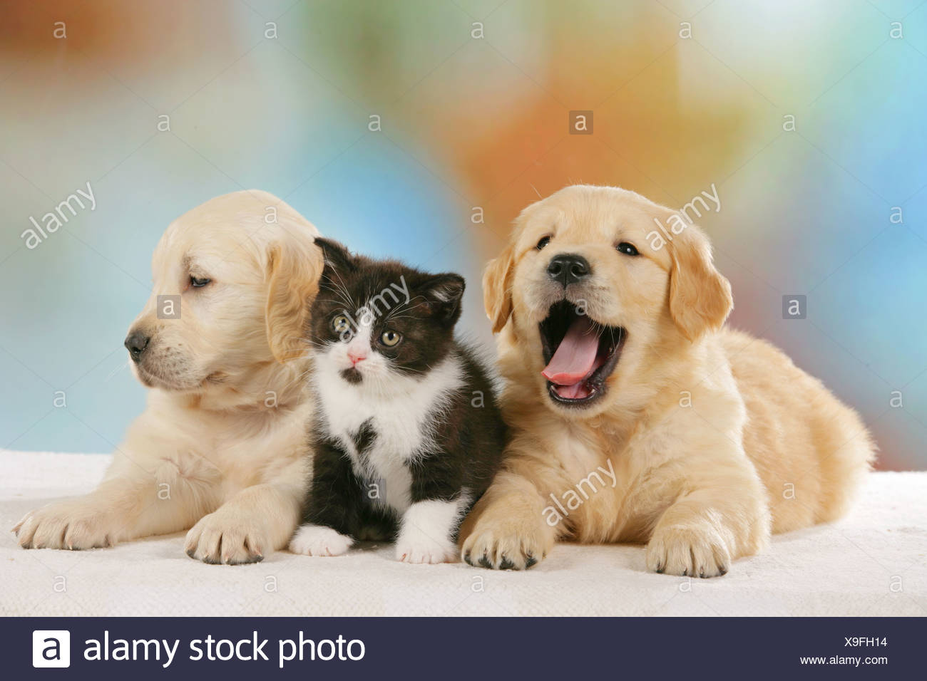 Yawning Golden Retriever Stock Photos Yawning Golden Retriever