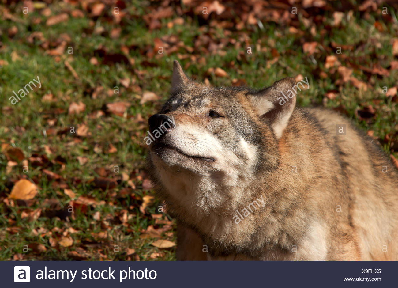 wild, portrait, eyes, zoo, dog, nature, head, fall, autumn, wild, face, Stock Photo