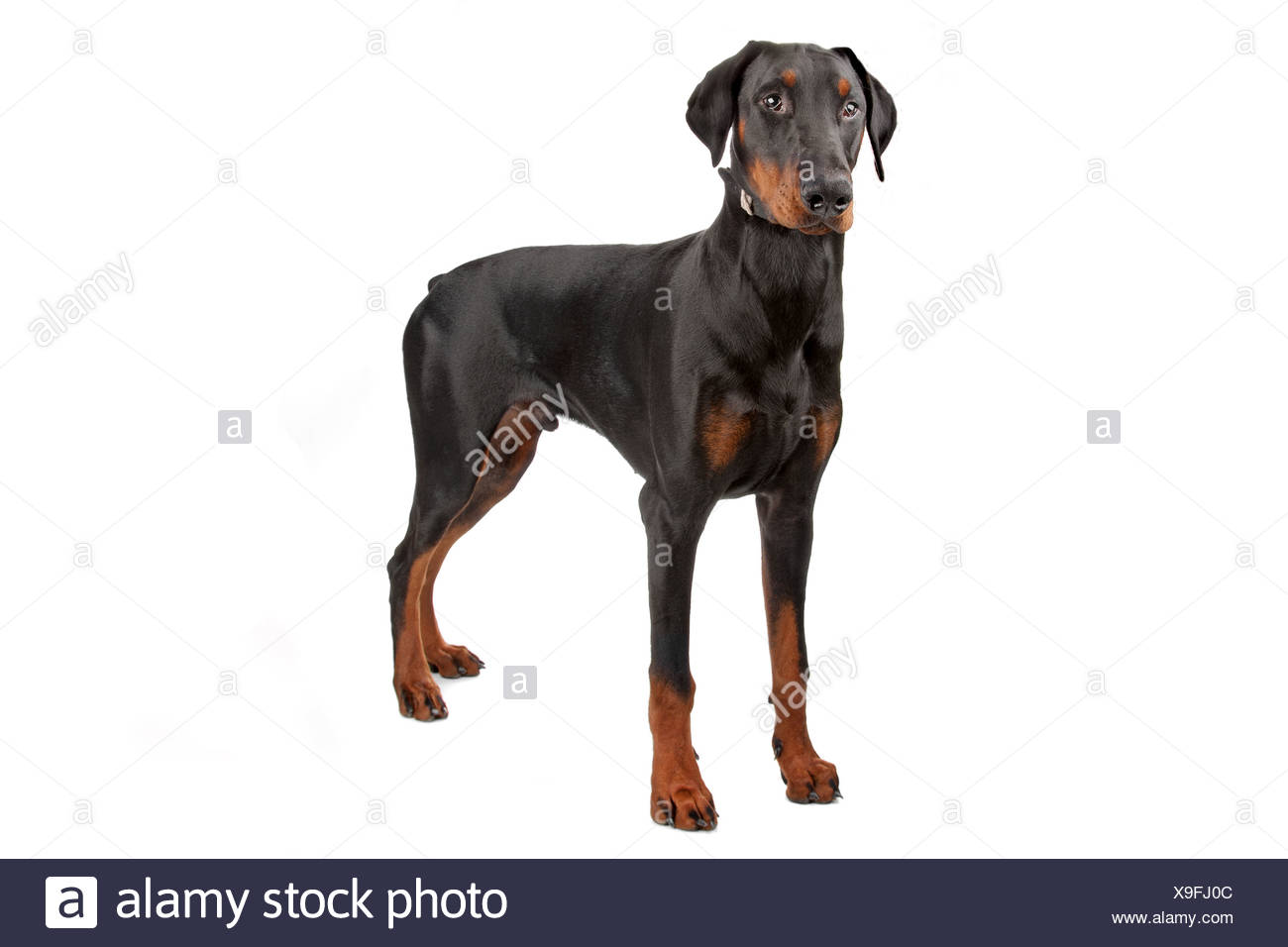 Doberman Pinscher isolated on white - Stock Image
