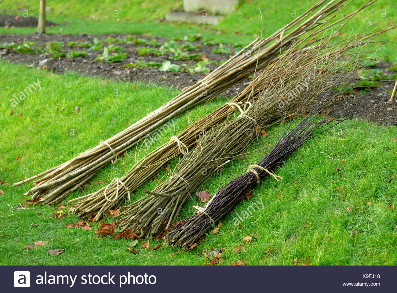 Selection of hazel rods and willow - Stock Image