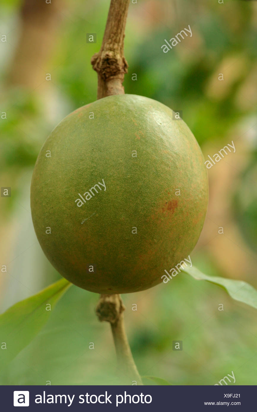 Calabash (Crescentia jucete), fruit on the tree Stock Photo
