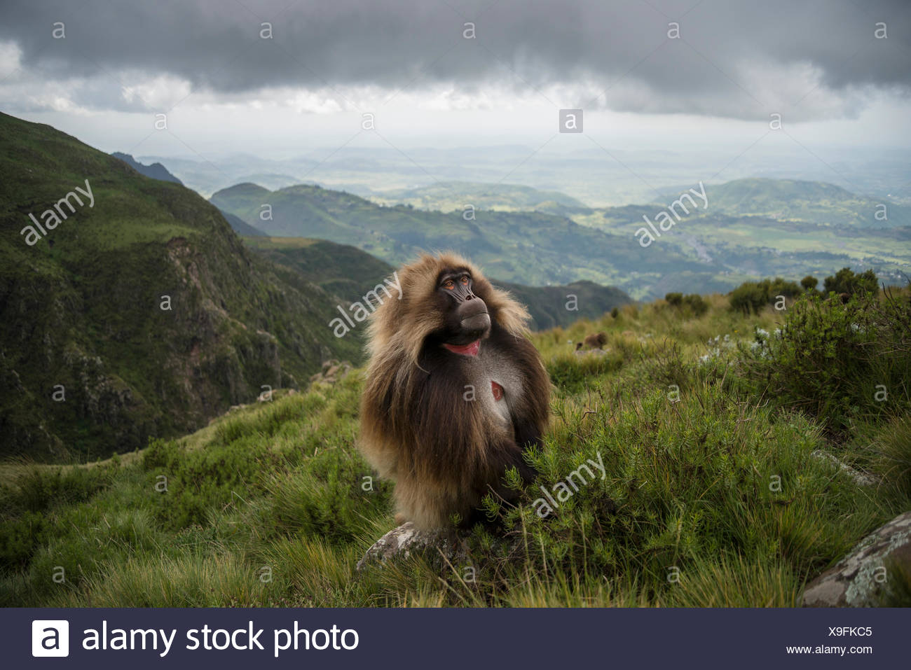 A Male Gelada Pauses During His Morning Ascent From A Cliff