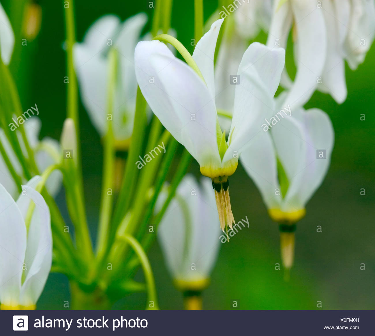 Close up shot of flowering Dodecatheon 'Dodecatheon meadia' - Stock Image