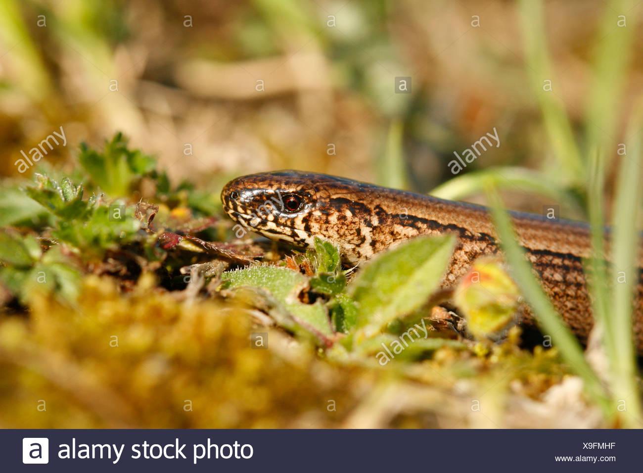 close-up  van de kop van een vrouwtje hazelworm foeragerend in heideterrein; close-up of the head of a female slow worm foraging in heathland Stock Photo