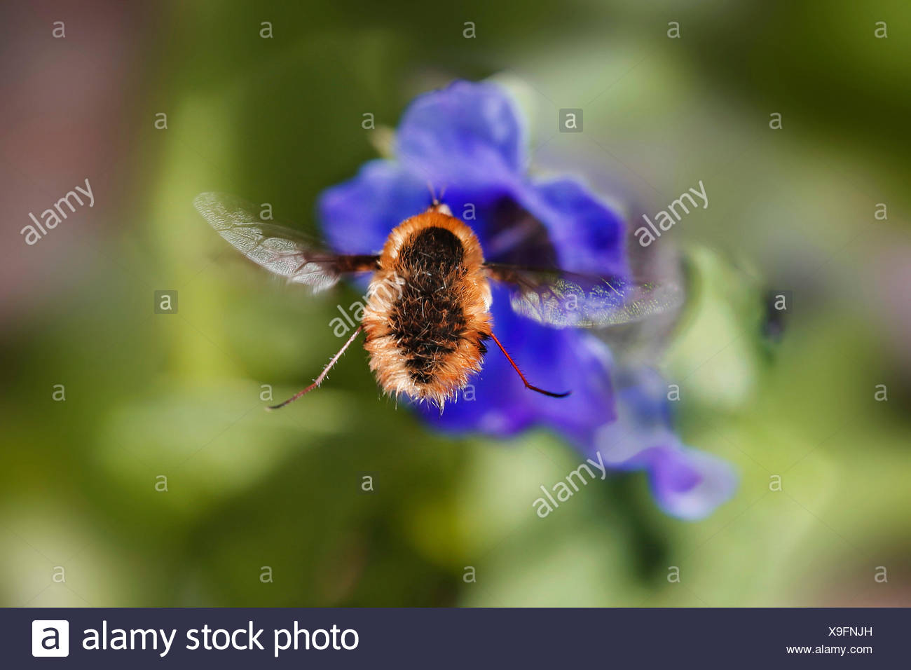 Large bee-fly (Bombylius major), on a blue flower, Germany - Stock Image