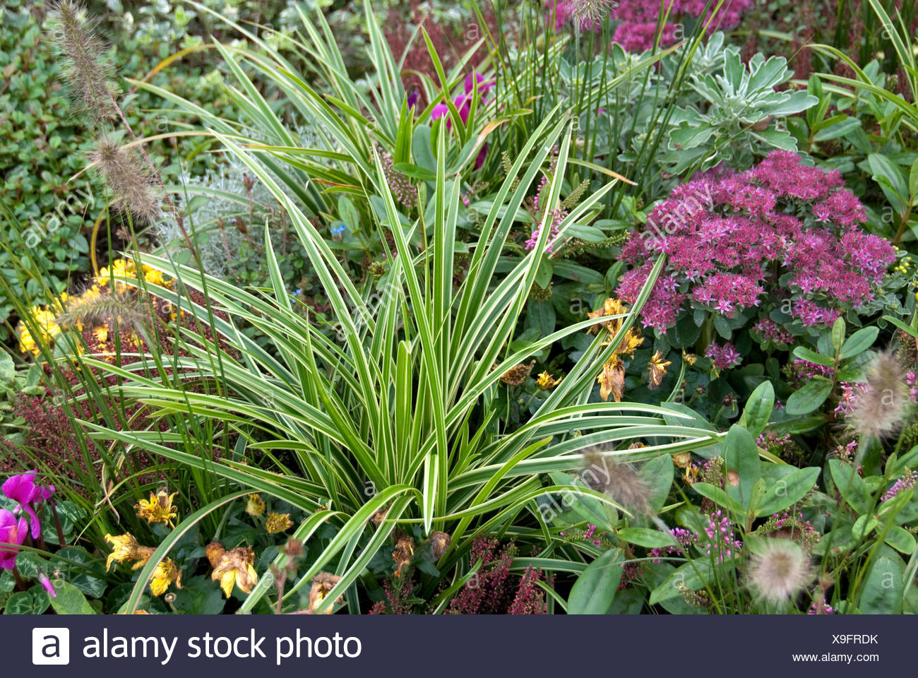 Goldband Carex (Carex morrowii 'Variegata', Carex morrowii Variegata), cultivar Variegata - Stock Image