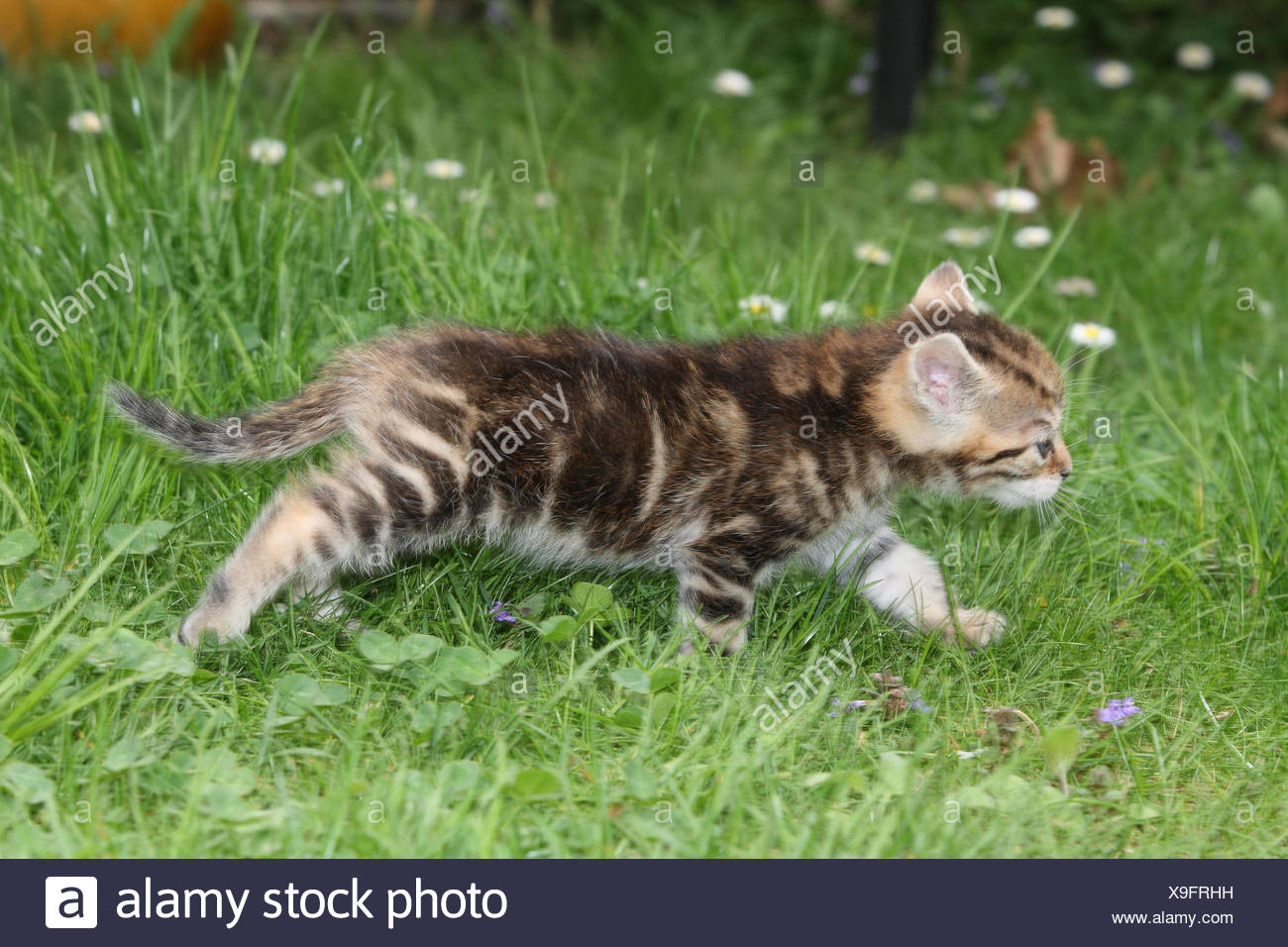 Cat, young, run, side view, meadow, garden, animals, mammals, pets, small cats, Felidae, domesticates, house cat, young animal, kitten, striped, small, awkward, clumsy, helplessly, sweetly, motion, individually, only, young animals, animal baby, nature, outside, motion blur, - Stock Image