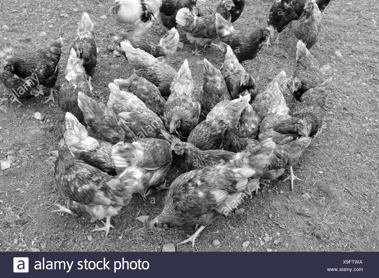 Chicken - the daily struggle for food in - Stock Image