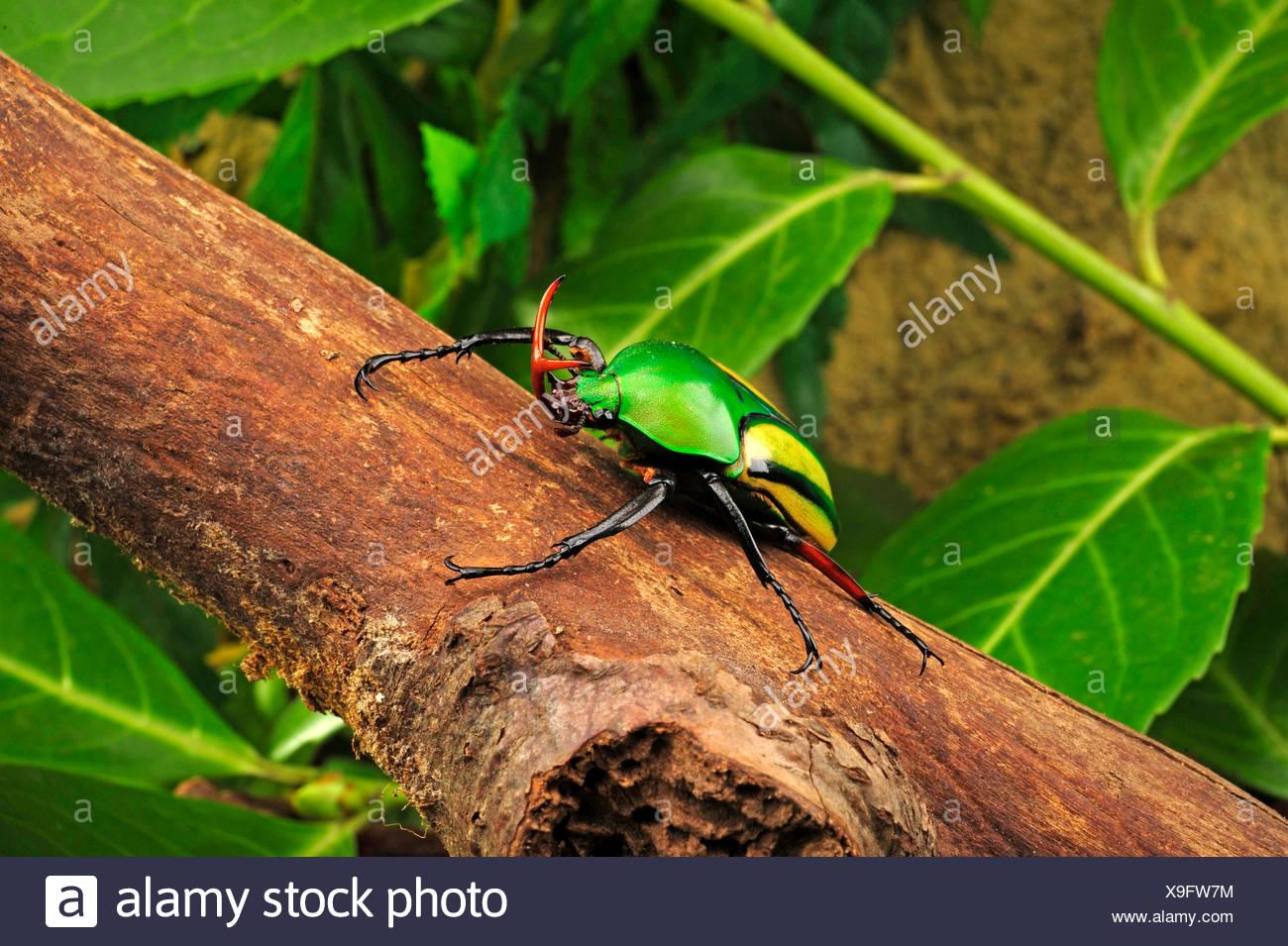 rose beetle; rose chafer (Eudicella gralli umbrovittata), on a branch, Kenya - Stock Image
