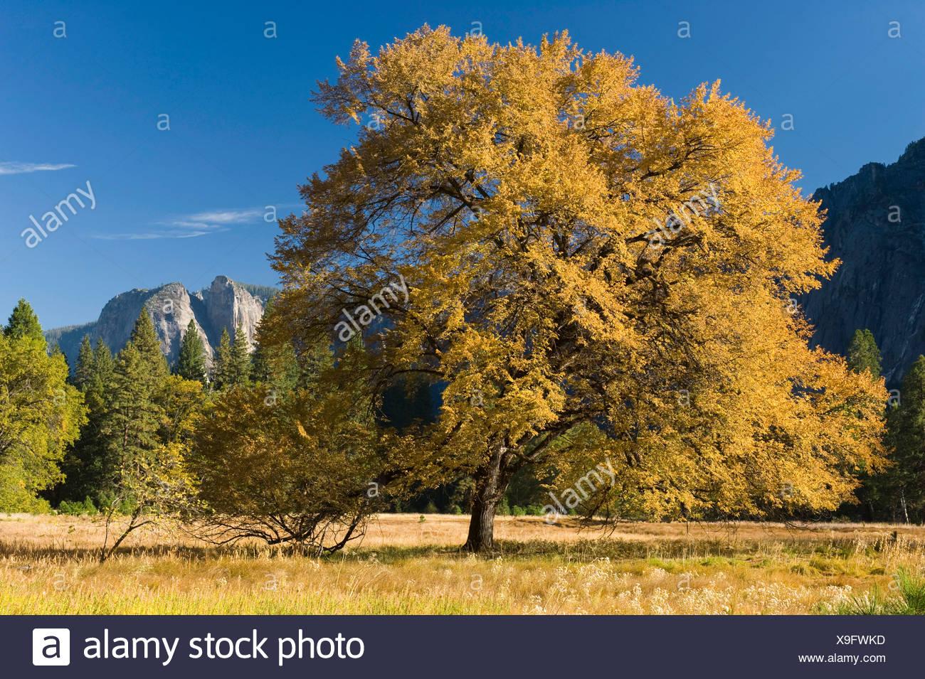 Oak tree (Quercus) in Yosemite Valley, Yosemite National Park, California, USA - Stock Image