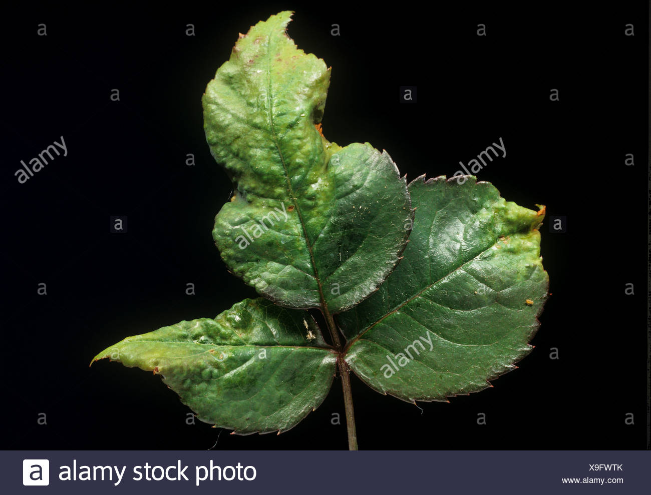 Two spotted spider mite Tetranychus urticae damage to rose leaves - Stock Image