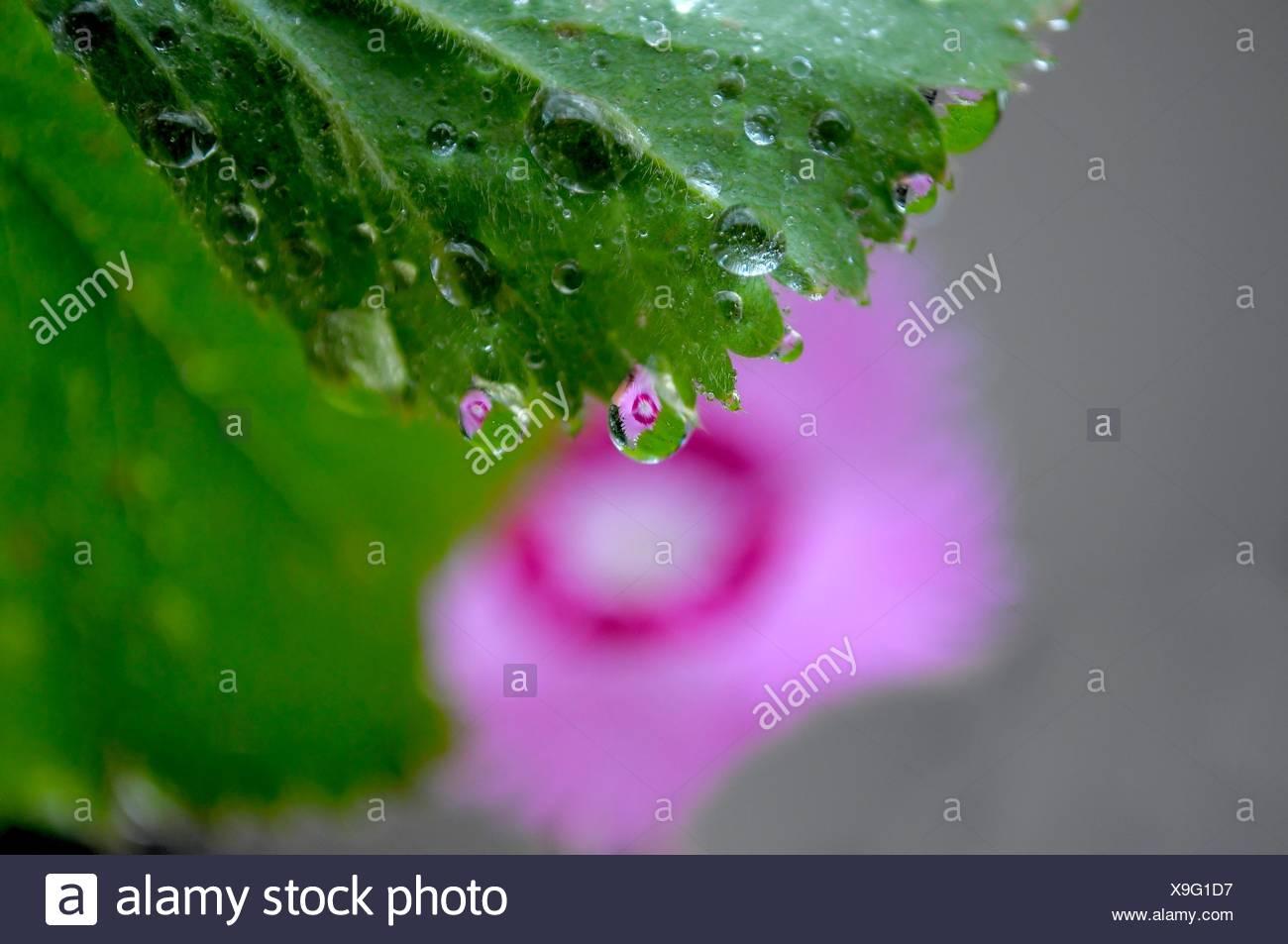Nelken  Spiegelung im Wassertropfen, - Stock Image