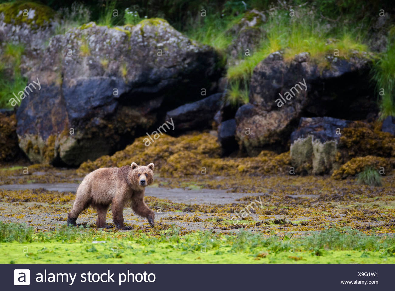 Brown bear walking on tidal flat at low tide with large boulders in background, Prince William Sound, Southcentral Alaska - Stock Image