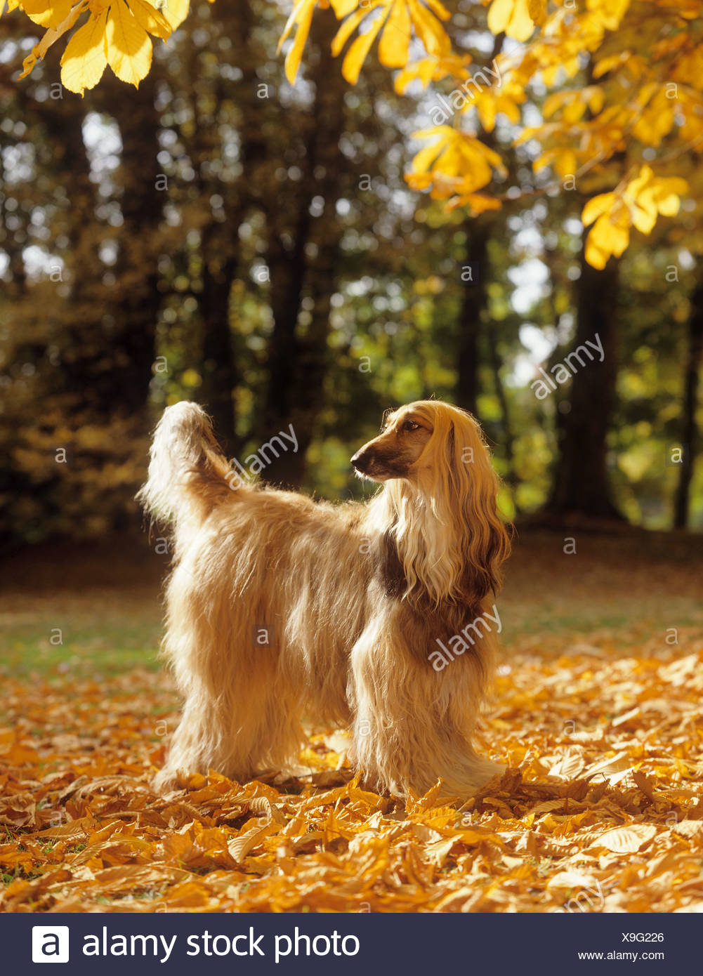 Afghan hound - in foliage Stock Photo