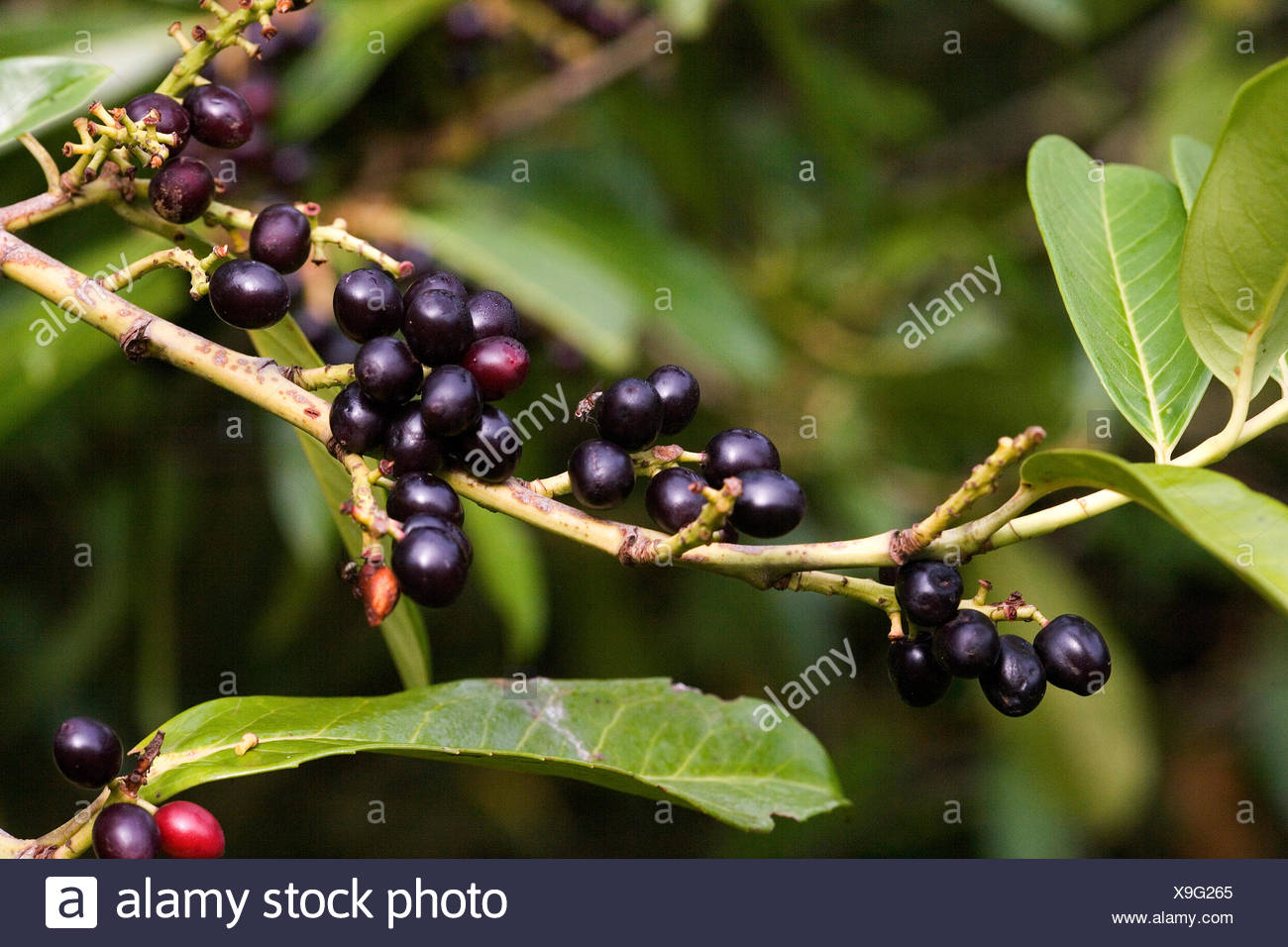 Cherry Laurel or Laurel Cherry, prunus laurocerasus, Tree in Normandy - Stock Image
