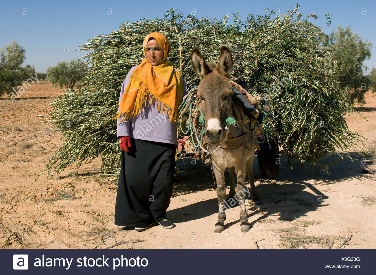 woman with scarf and donkey, heavily loaded with olive tree twigs, Libya - Stock Image
