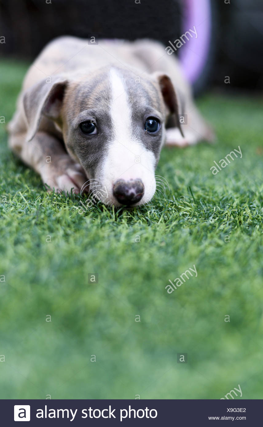 pedigree Whippet‎ puppy on the grass Stock Photo