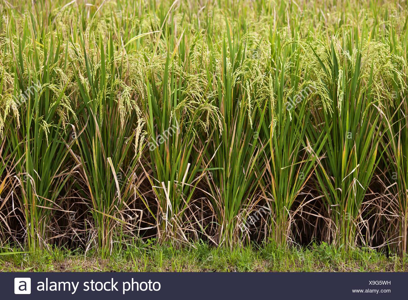common rice (Oryza sativa), rice field, Indonesia, Bali - Stock Image