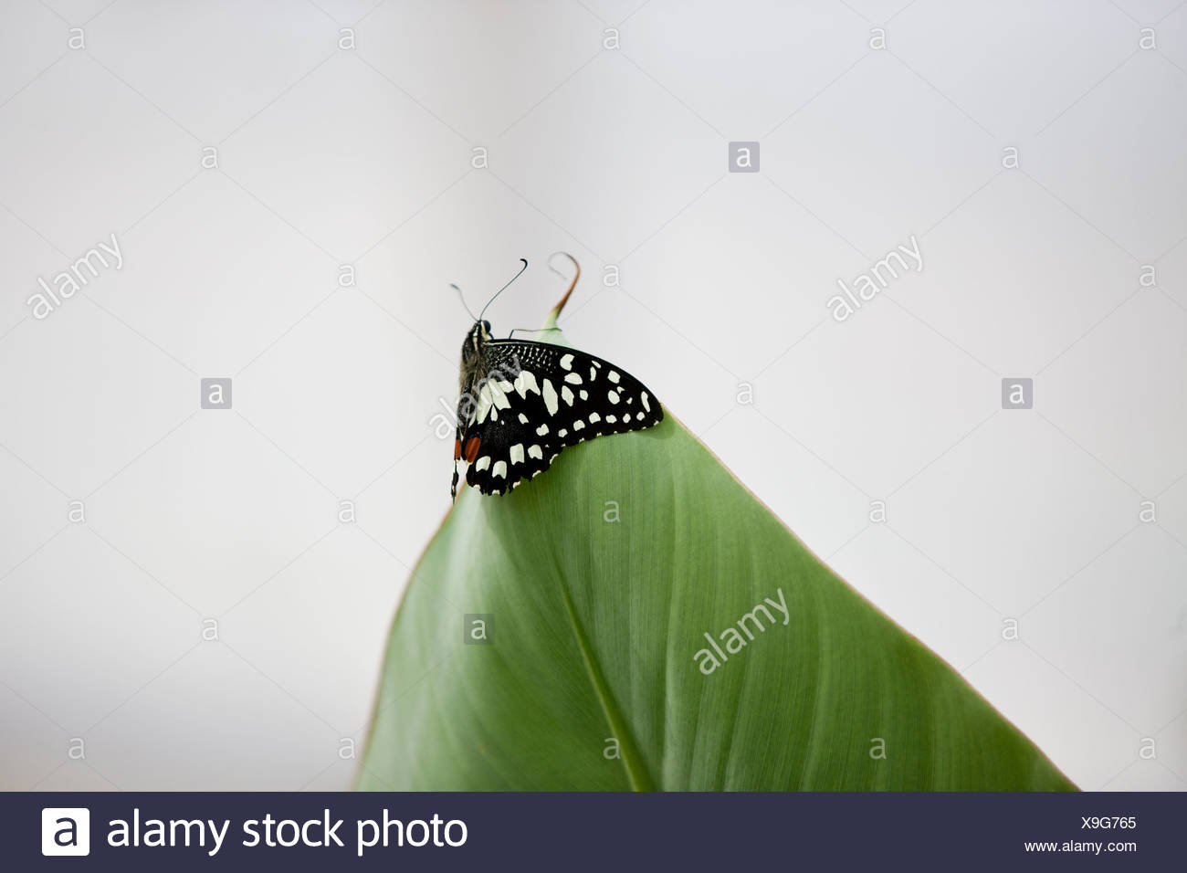 A Lime butterfly, Papilio Demoleus malayanus on the tip of a leaf Stock Photo