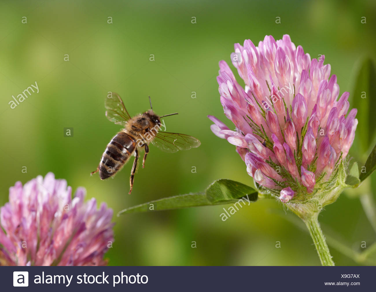Honeybee (Apis mellifera) taking-off from red clover, controlled conditions. - Stock Image