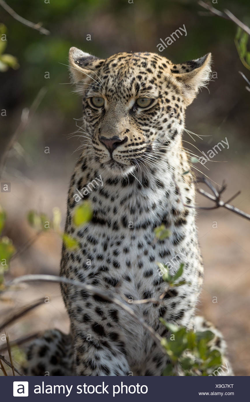 Sitting Leopard (Panthera pardus) keeping watch, portrait, Timbavati Game Reserve, South Africa - Stock Image