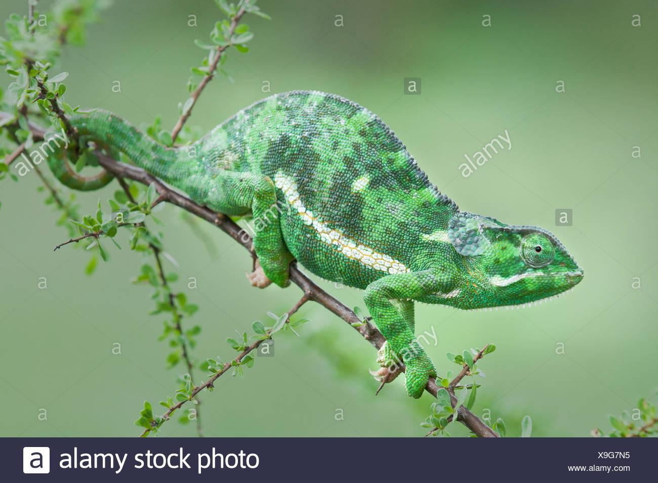 Adult Flap-necked Chameleon on Acacia bush, Ndutu Safari Lodge, Ngorongoro Conservation Area, Tanzania. - Stock Image
