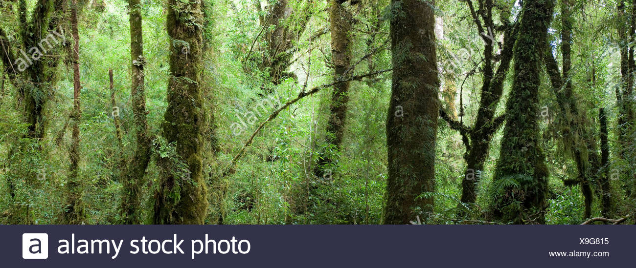 scenery wood forest excessively primeval forest inside Parque Nacional national park Queulat near Puyuhuapi - Stock Image