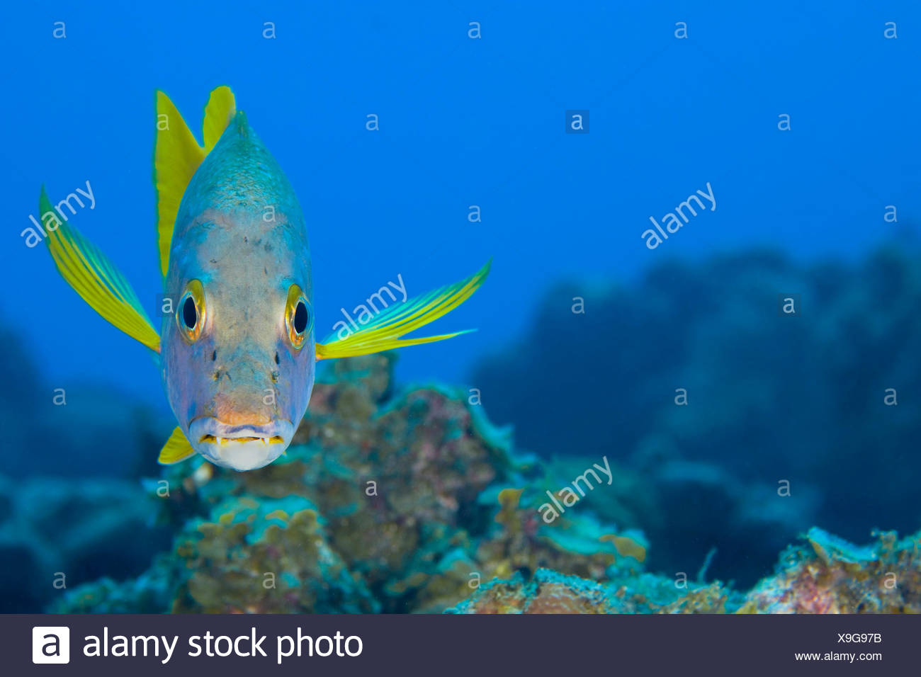 Schoolmaster snapper (Lutjanus apodus) above a coral reef, Georgetown, Grand Cayman, Cayman Islands, British West Indies, Caribbean Sea. - Stock Image