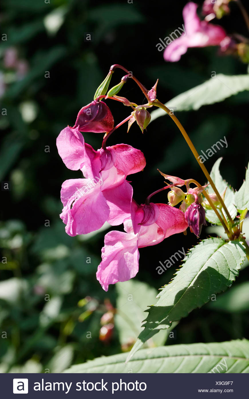 Impatiens glanulifera, Balsaminaceae imported pest displacing endemic species in many places Stock Photo
