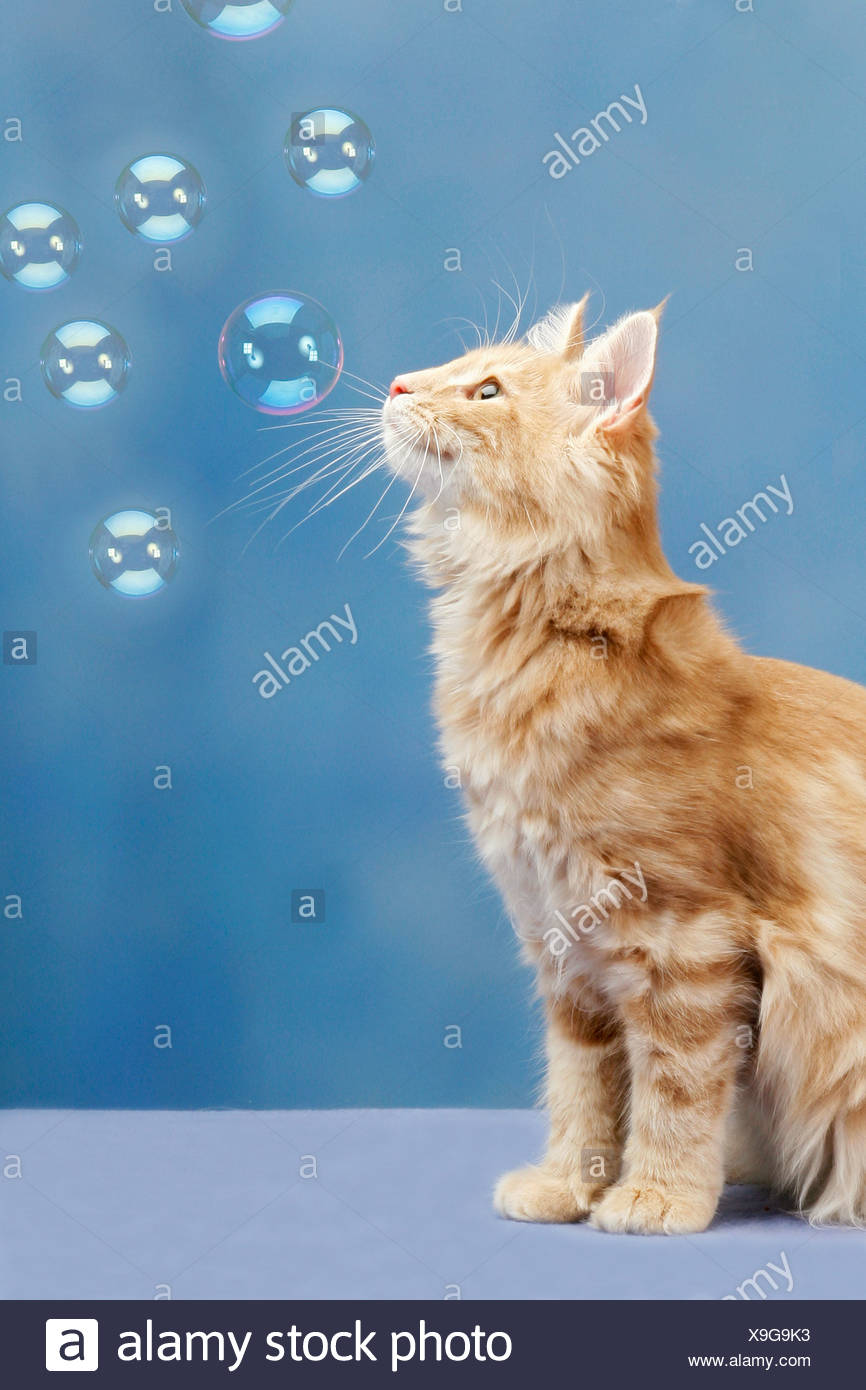 Norwegian Forest cat - watching soap bubbles - Stock Image