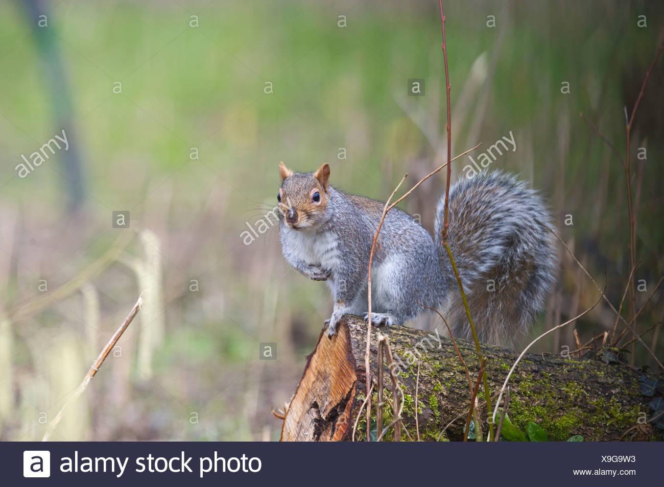 Grey Squirrel Norfolk winter - Stock Image