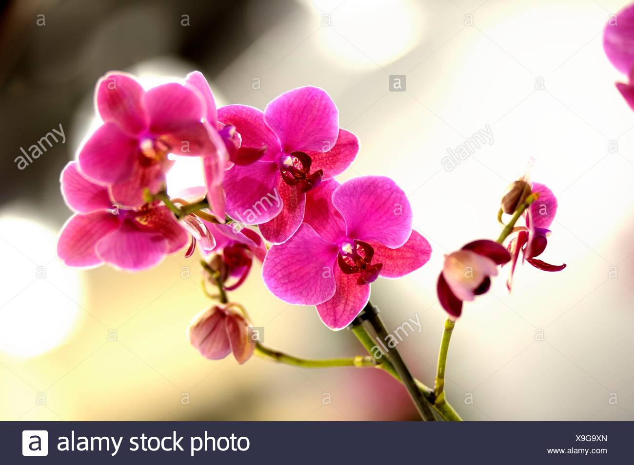 Orchids with blurred background - Stock Image