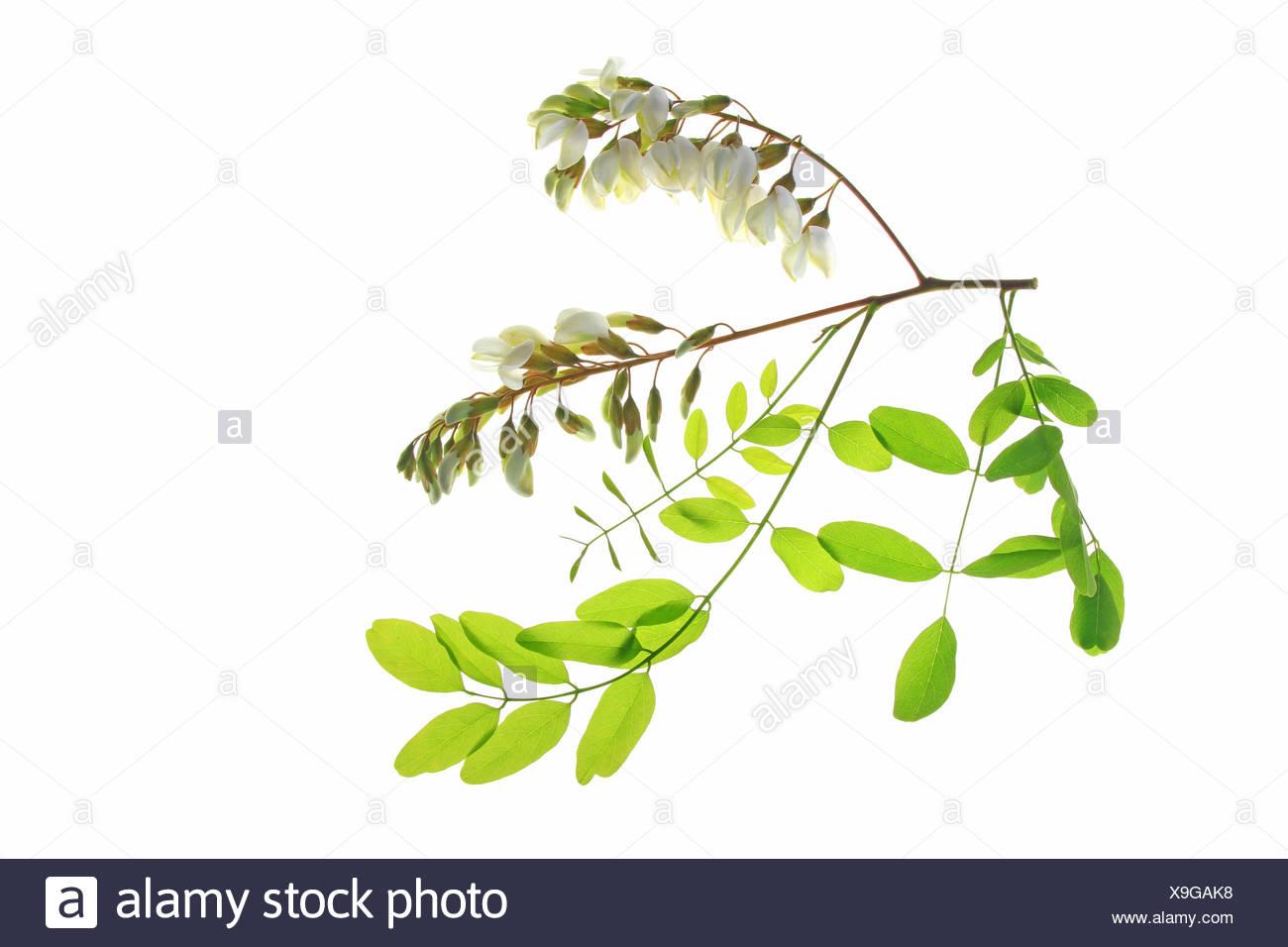 Black Locust or False Acacia (Robinia pseudoacacia Stock Photo