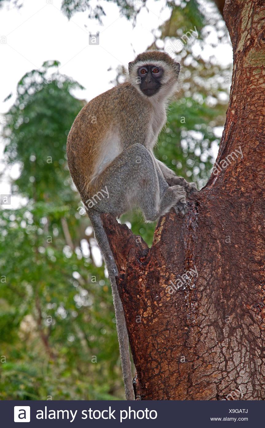 Black faced Vervet Monkey in Yellow Barked Acacia tree in Amboseli National Park Kenya East Africa - Stock Image