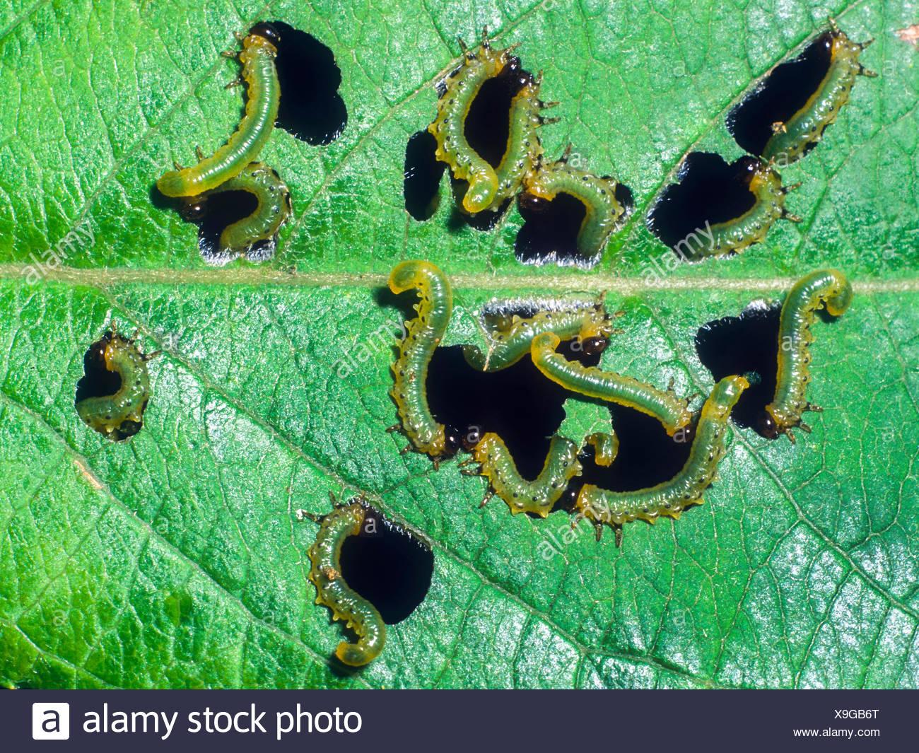Blattwespe, Blatt-Wespe (Tenthredinidae), Larven beim Fensterfrass an der Unterseite eines Schwarzerlen-Blattes (Alnus glutinosa - Stock Image