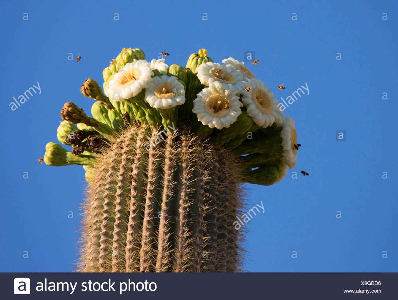 saguaro cactus (Carnegiea gigantea, Cereus giganteus), blooming, USA ...