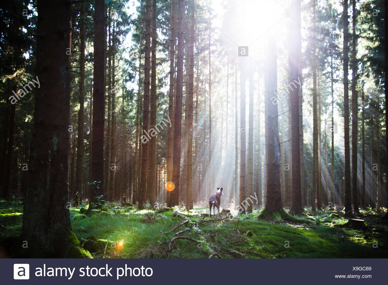 Spruce forest, sunlight, dog - Stock Image