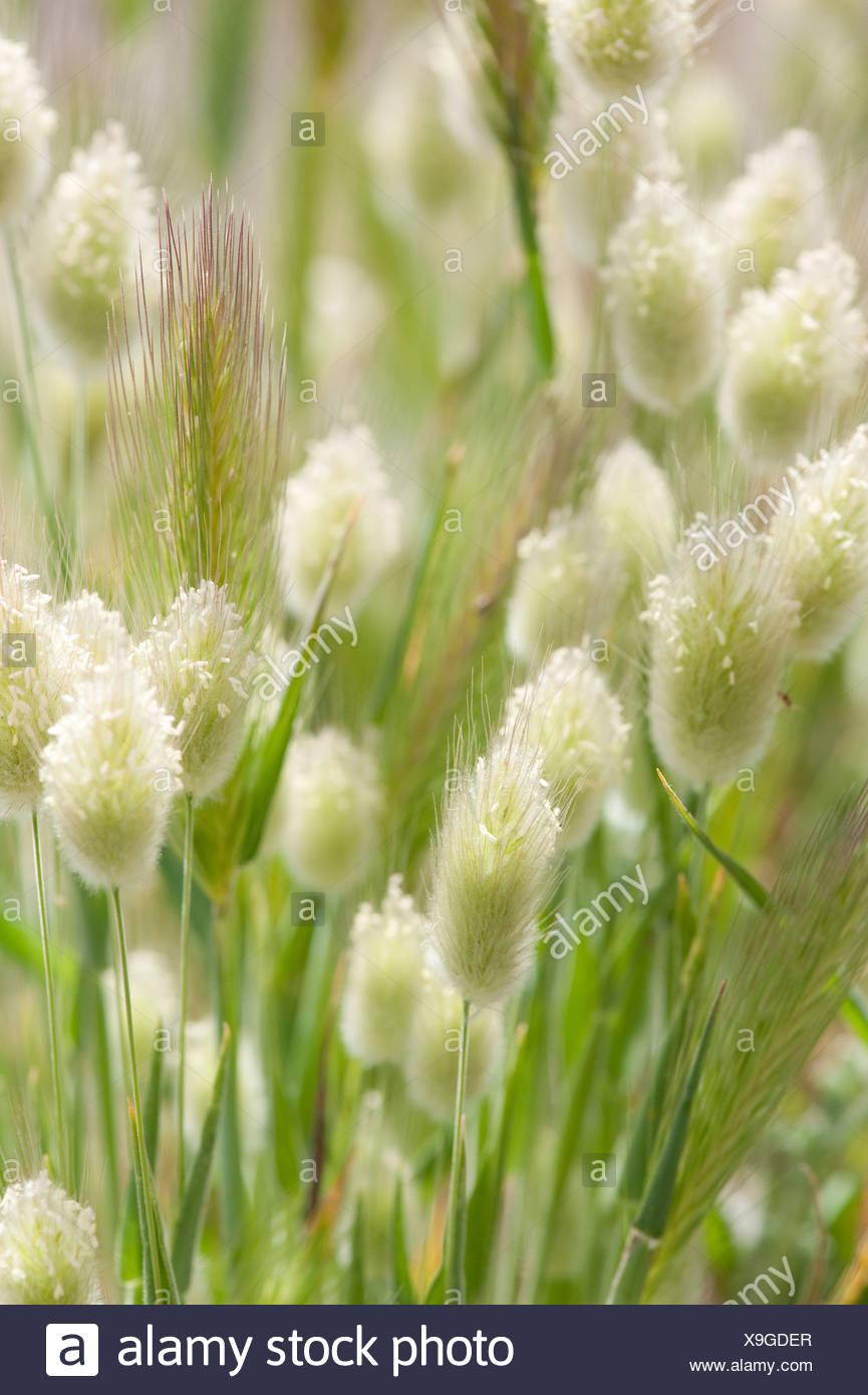 Grass Seed Heads Lesvos Island Greece - Stock Image