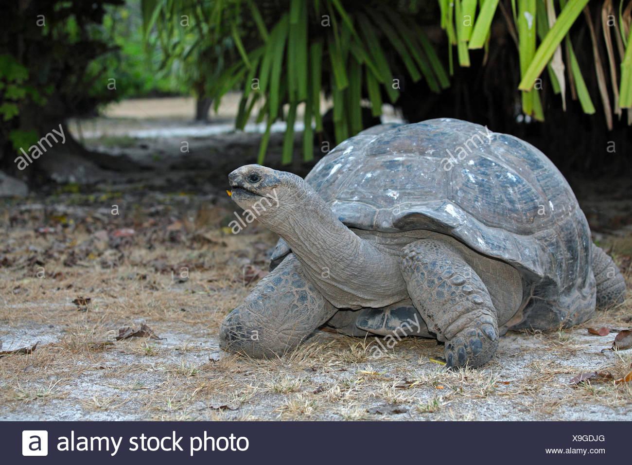 Seychelles giant tortoise, Aldabran giant tortoise, Aldabra giant tortoise (Aldabrachelys gigantea, Testudo gigantea, Geochelone gigantea, Megalochelys gigantea), in habitat, Seychelles, Bird Island - Stock Image
