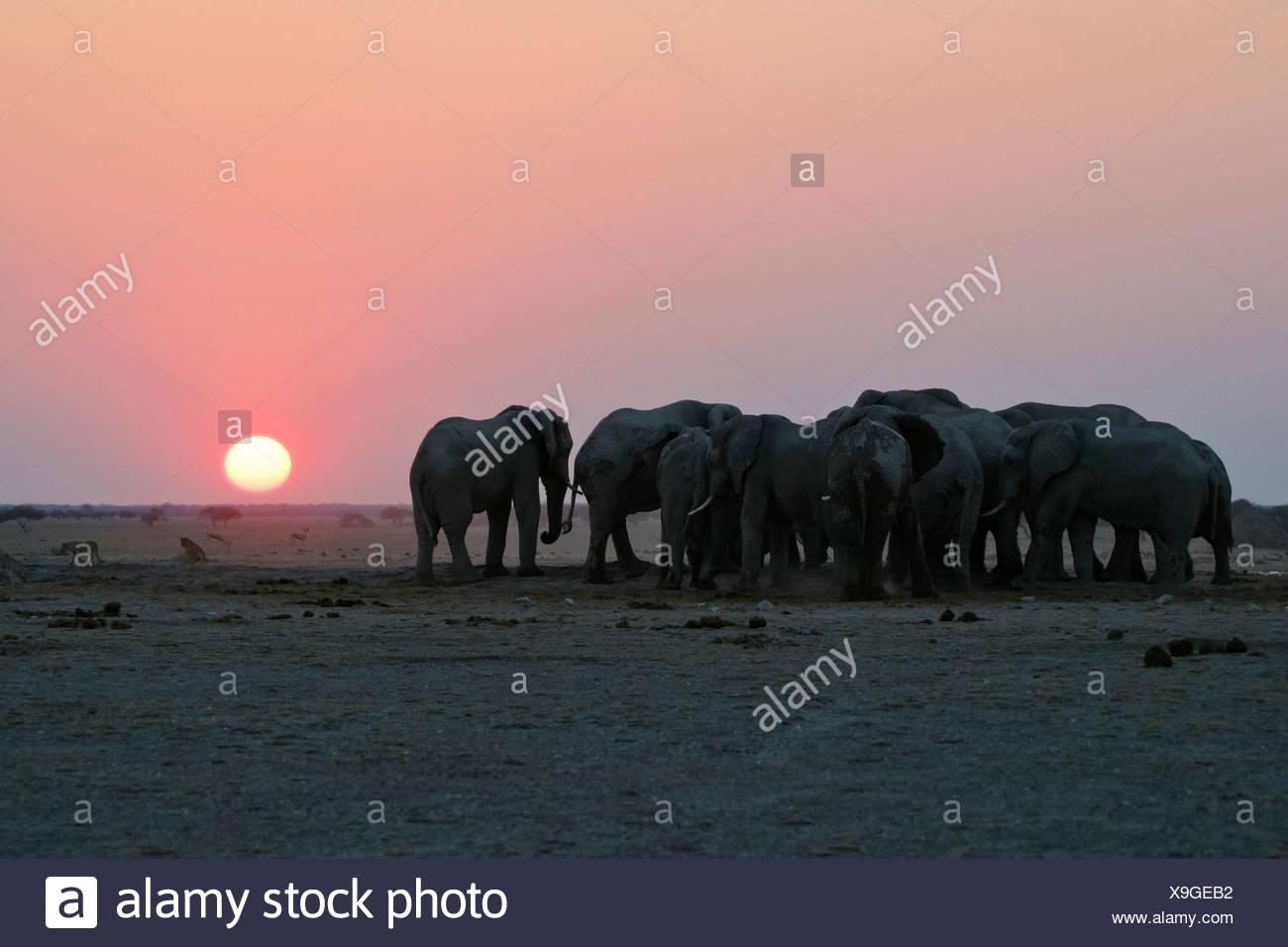 African Elephants (Loxodonta africana) at sunset, Nxai Pan waterhole, Makgadikgadi Pans National Park, Botswana, Africa Stock Photo