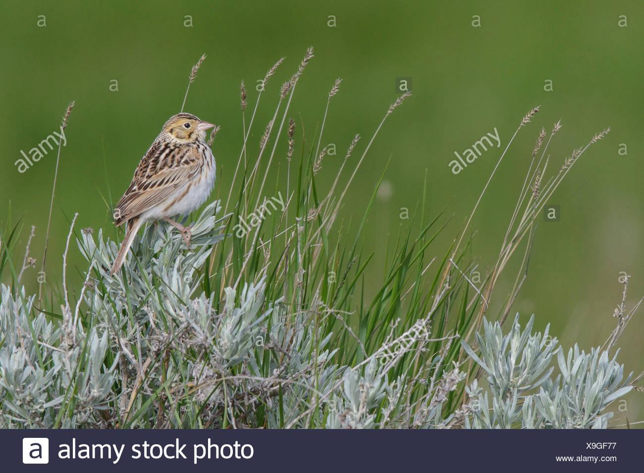 Baird's Sparrow (Ammodramus bairdii) perched on a branch in Alberta, Canada. - Stock Image