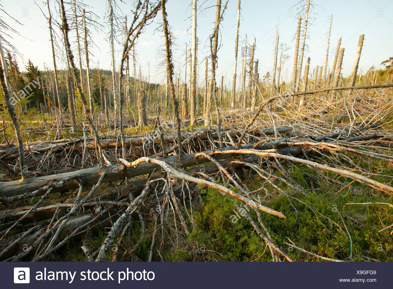 Dying of the forests, Bavarian Forest National Park, Bavaria, Germany Stock Photo