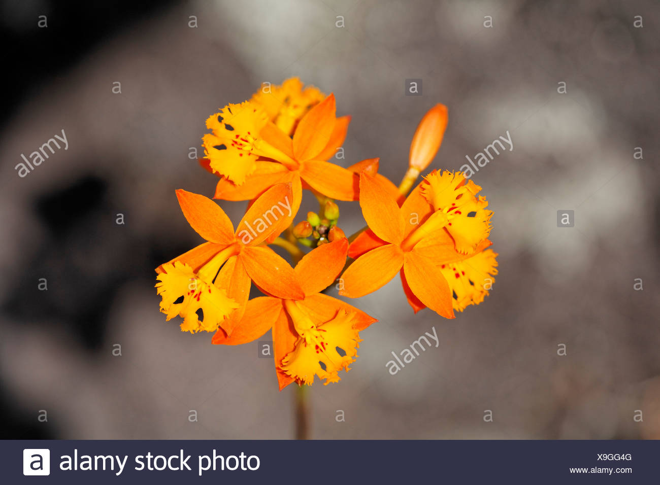 Fire star orchid Epidendrum radicans), Costa Rica - Stock Image