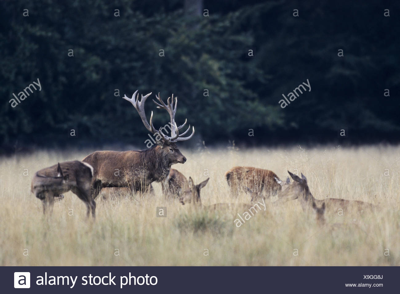 Red Deer stag, hinds and calfs resting Stock Photo