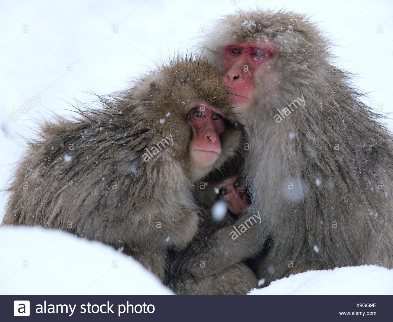Japanese macaque (Macaca fuscata) family huddled together for warmth on a cold day, Jigokudani, Joshinetsu Kogen NP, Nagano, Japan - Stock Image