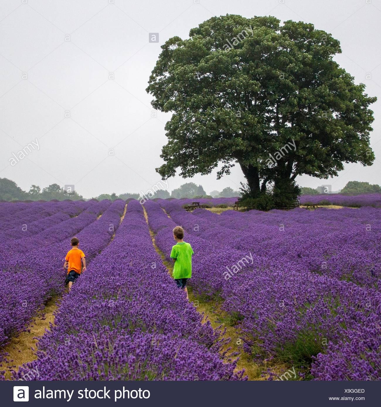 Boys (6-7) in lavender field - Stock Image