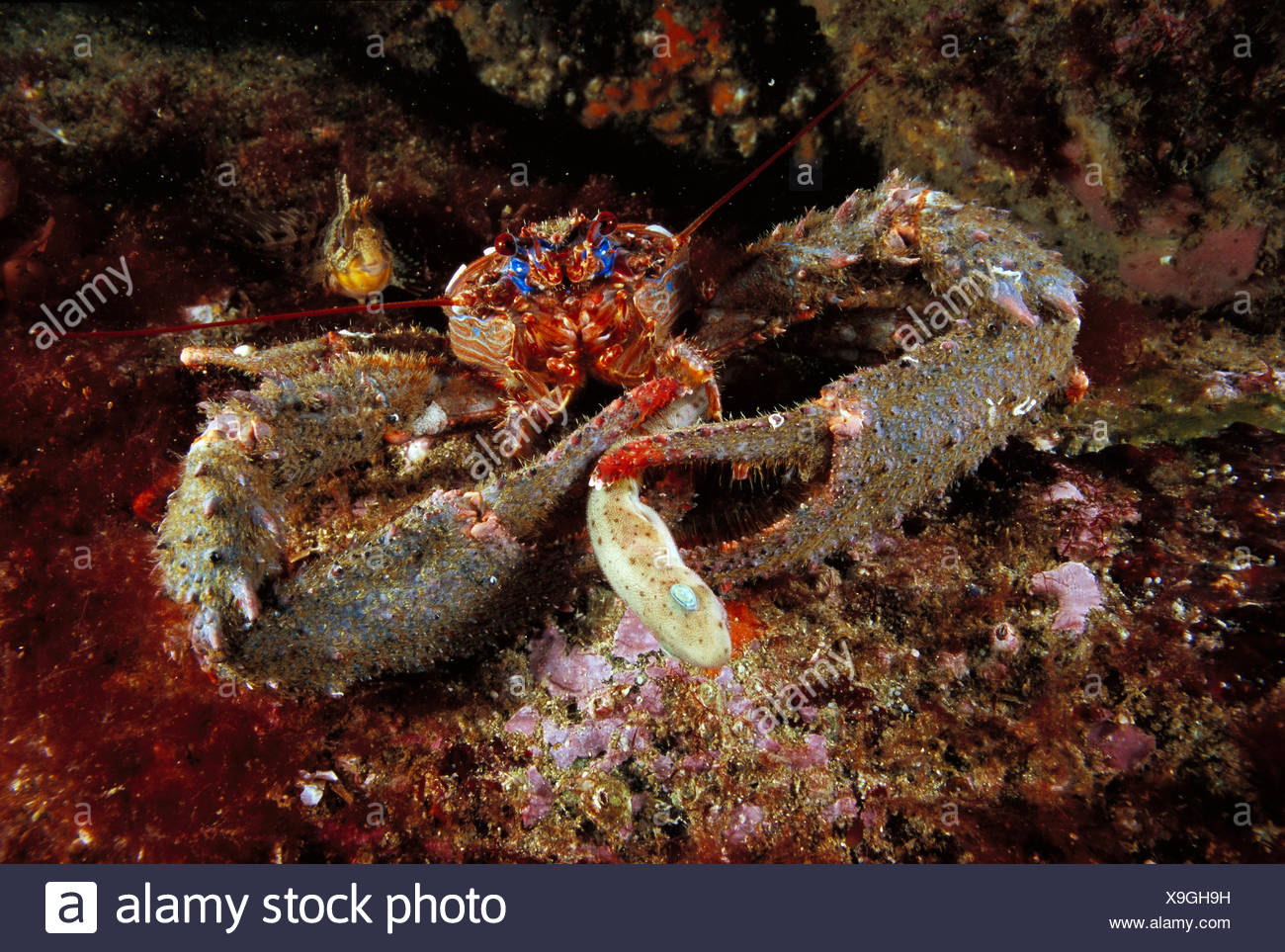 Eastern Atlantic Galicia Spain Spinous squat lobster Galathea strigosa devouring a young Common dogfish - Stock Image